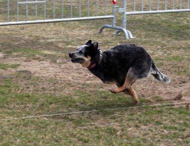 Bertie Lure Coursing