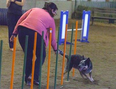 Bertie doing weave poles in agility
