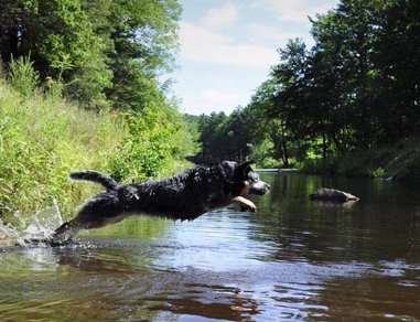 Bertie leaping in the water