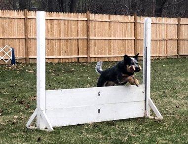 Bertie practicing Open in Obedience
